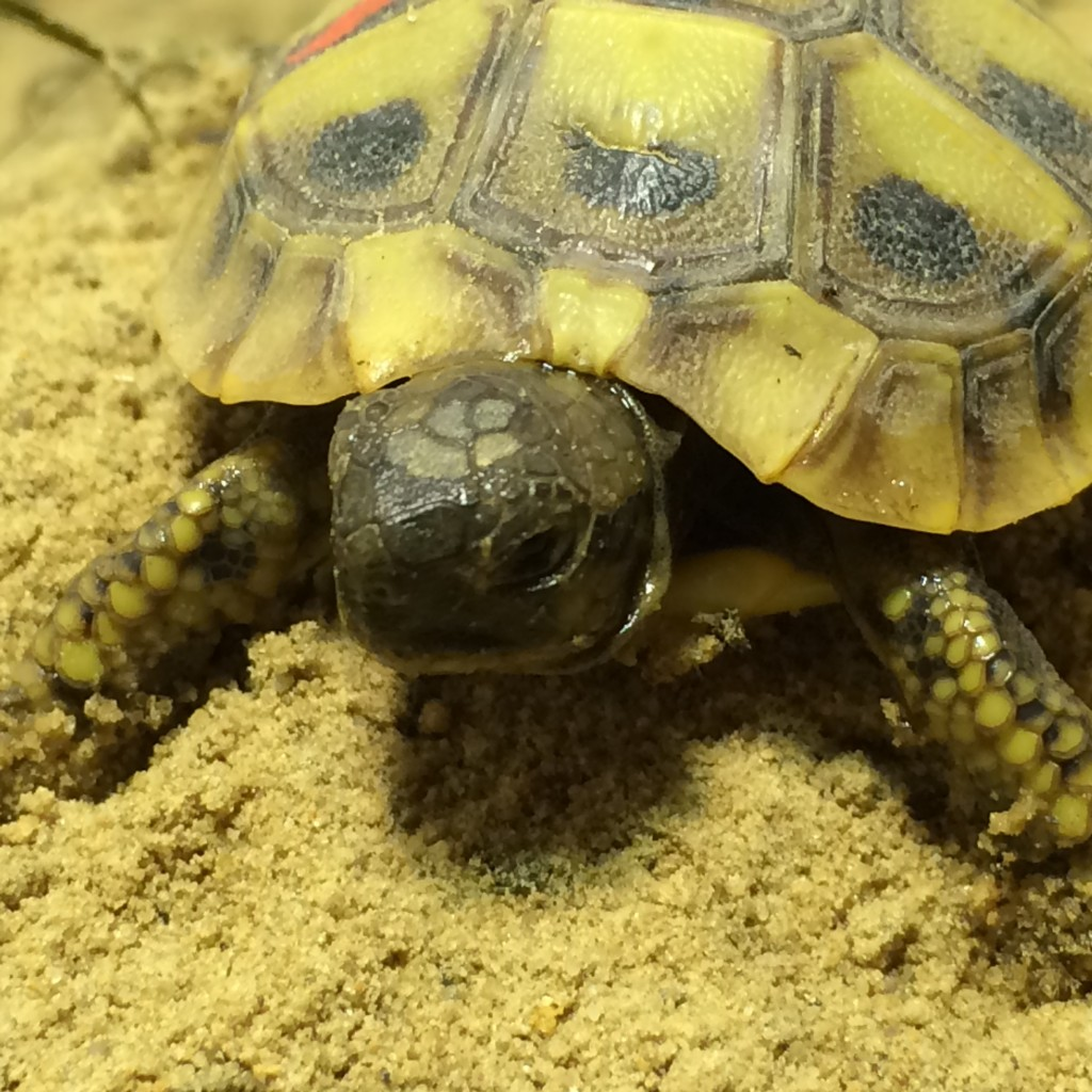 Zu verkaufen - Jungtiere : Griechische Landschildkröten in Berlin
