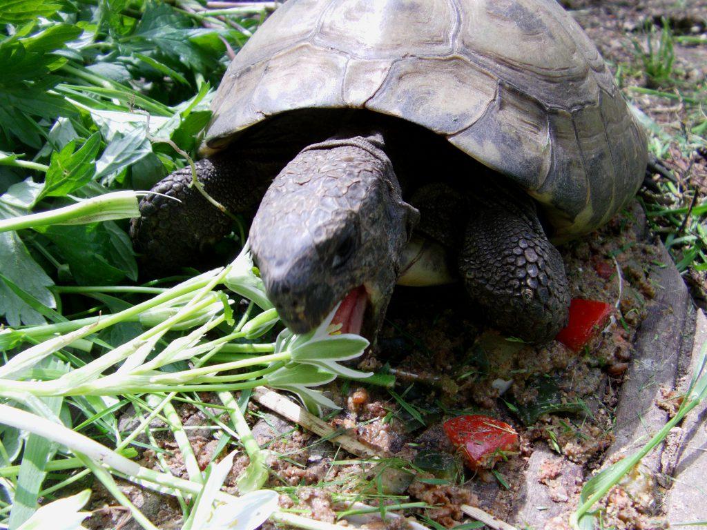 Griechische Landschildkröte - Testudo hermanni