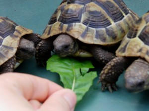 Landschildkröten im Terrarium