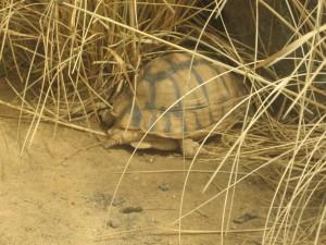 Winterruhe für Landschildkröten - Foto: dassi87/pixelio.de