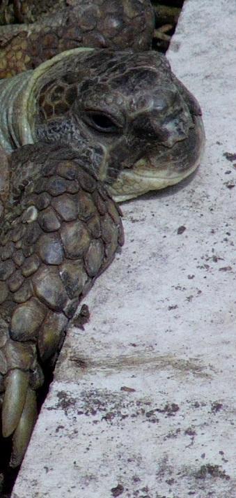 Steppenschildkröte