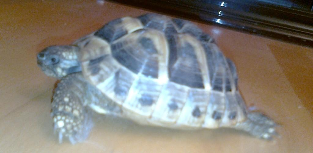 Wie zahm kann eine Landschildkröte werden?