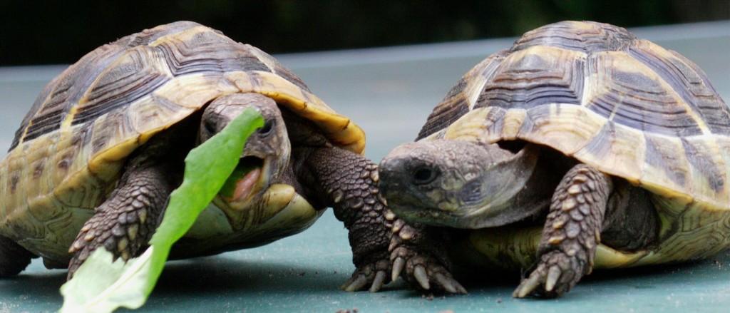 Landschildkröten Berlin