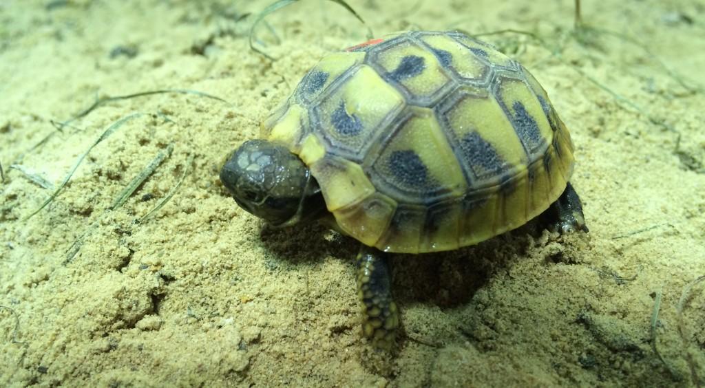 Jungtiere : Griechische Landschildkröten in Berlin
